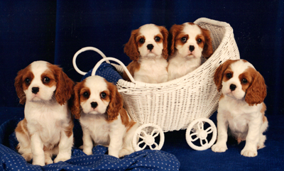 5 Blenheim Cavalier puppies in a baby carriage