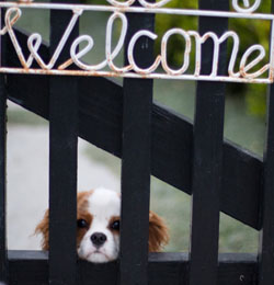 Blenheim puppy looking through a welcome sign gate