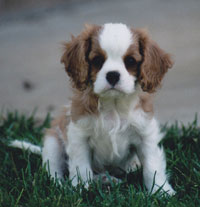 Max the Cavalier puppy