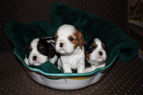 teenie puppies in a bowl